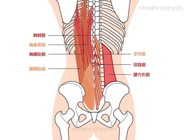 腰の深層筋の筋肉